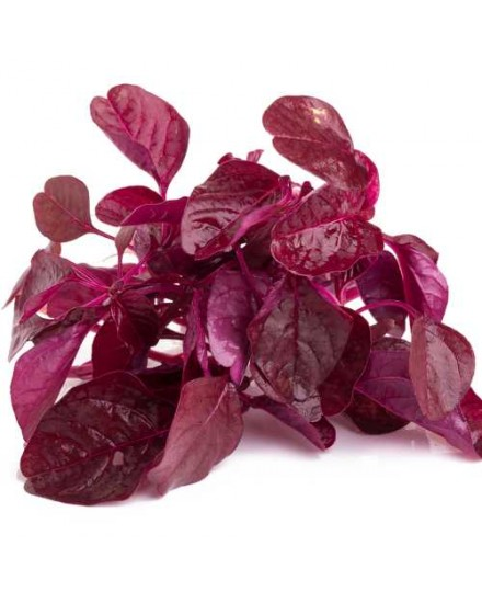 Organic Red Spinach ( Bayam Merah Organik )